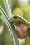 Rana de árbol verde australiana Fotos de archivo