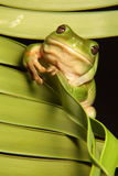 Rana de árbol verde en la fronda de la palma Imágenes de archivo libres de regalías