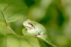 Rana de árbol verde en una hoja Imagen de archivo