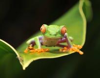 Rana de árbol verde eyed roja del bebé curioso, Costa Rica Imagenes de archivo