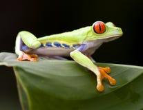 Rana de árbol verde eyed roja hermosa, Costa Rica Imagen de archivo libre de regalías