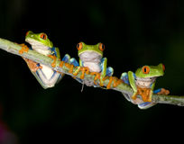Rana de árbol verde eyed roja o rana de árbol llamativa Fotos de archivo