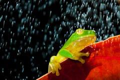 Rana de árbol verde que se sienta en la hoja roja en lluvia Foto de archivo