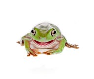 Rana de árbol verde sonriente Fotos de archivo libres de regalías