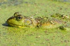 Rana de Bull de la rana mugidora Foto de archivo libre de regalías