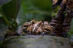 Rana de cuernos del Amazonas Imagen de archivo