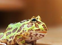 Rana de cuernos verde Foto de archivo