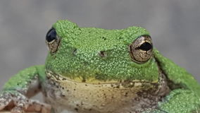 Rana de Kermit Imagen de archivo libre de regalías