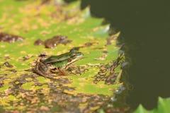 Rana de la charca y hoja verdes del lirio de agua Imagen de archivo libre de regalías
