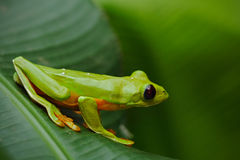 Rana de la hoja de vuelo, spurrelli de Agalychnis, rana verde que se sienta en las hojas, rana arbórea en el hábitat de la natura foto de archivo