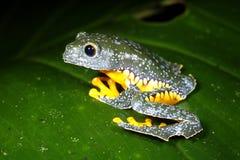 Rana de la hoja del Amazonas Fotos de archivo
