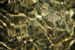 Rana de la natación Fotos de archivo