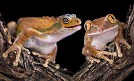 Rana de la salamandra con el amigo Fotografía de archivo