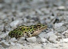 Rana de leopardo Imágenes de archivo libres de regalías
