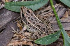 Rana de leopardo septentrional Imagen de archivo libre de regalías
