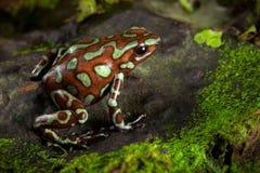 Rana de oro del dardo del veneno de la selva tropical de Panamá