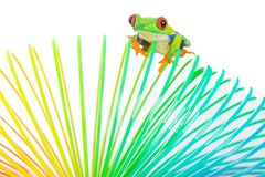 Rana de árbol eyed roja colorida en un juguete Imagen de archivo