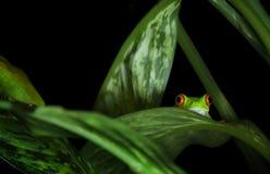 Rana de árbol Eyed roja en plantas Fotos de archivo