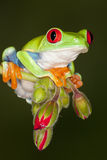 Rana de árbol roja del ojo 2 Imagen de archivo libre de regalías