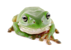 Rana de árbol verde Imagenes de archivo