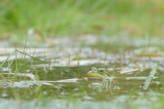 Rana debajo del agua Foto de archivo libre de regalías
