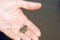 Rana del bebé en manos humanas Foto de archivo