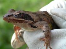 Rana del Froggy Fotografie Stock