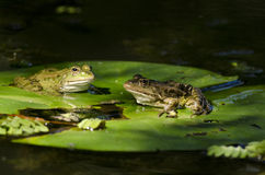 Rana del pantano Fotografía de archivo libre de regalías