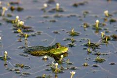 Rana del pantano Foto de archivo libre de regalías