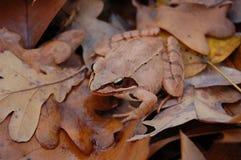 Rana del rojo del bosque Imagen de archivo