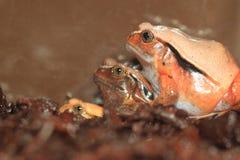 Rana del tomate de Madagascar imagenes de archivo
