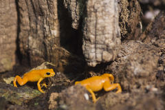 Rana dell'arancia del Madagascar fotografia stock libera da diritti