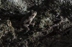 Rana della caverna Fotografia Stock