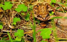 Rana della foresta Fotografia Stock