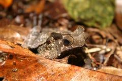 Rana della foresta pluviale Fotografia Stock Libera da Diritti
