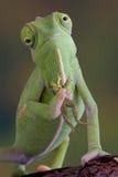 Rana della holding del Chameleon Immagine Stock Libera da Diritti
