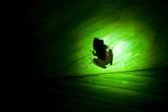 Rana - den bruna grodan är ett släkte av grodor Arkivfoton