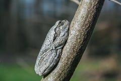 Rana di albero Fotografia Stock