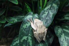 Rana di albero asiatica Fotografia Stock Libera da Diritti