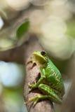 Rana di albero che osserva in su Fotografie Stock Libere da Diritti