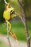 Rana di albero che scala sui ramoscelli Fotografia Stock Libera da Diritti