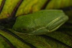 Rana di albero con gli occhi rossi che riposa su una foglia Fotografie Stock