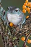 Rana di albero con le bacche gialle Fotografie Stock Libere da Diritti