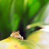 Rana di albero cubana (Osteopilus Septentrionalis) fotografia stock