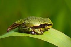 Rana di albero europea amfibia del girino verde piacevole, arborea della hyla, sedentesi sull'erba con chiaro fondo verde fotografie stock