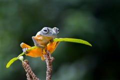 Rana di albero gialla Fotografia Stock Libera da Diritti