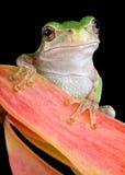 Rana di albero grigia sul baccello del seme Fotografia Stock