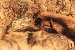 Rana di albero marsupiale andina immagine stock