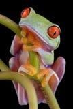 Rana di albero Red-eyed persa nel pensiero fotografie stock libere da diritti