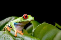 Rana di albero Red-eyed sulla pianta fotografia stock
